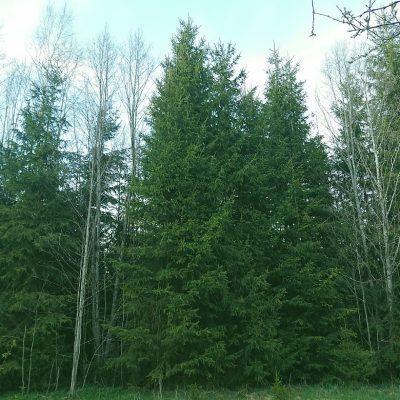 noor mets harvendusraieks